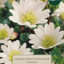 ANEMONE BLANDA WHITE 1 P/P