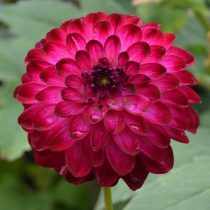 PRE PACKS DAHLIA LITTLE ROBERT