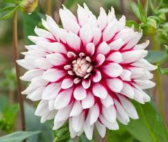 PRE PACKS DECORATIVE DAHLIA REBECCA'S WORLD